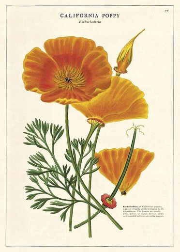 Juliste Cavallini - California Poppy 50*70